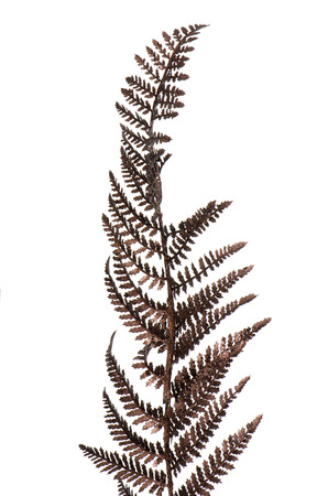 Christmas decorative Brown fern leaf isolated on white background. photo