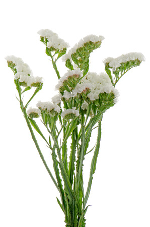 White statice flowers isolated on the white stock photo picture stock photo white statice flowers isolated on the white mightylinksfo