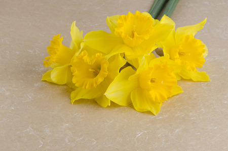 jonquil: Yellow jonquil flowers on paper . Stock Photo