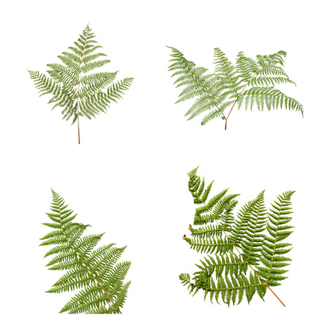 Fern leaves isolated on white background. Stock Photo