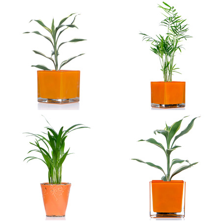 houseplants: Houseplants in pot isolated on white background. Stock Photo