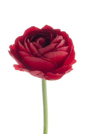 Beautiful red eustoma isolated on white background. photo