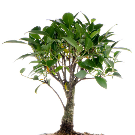 Chinese green bonsai tree Isolated on white background photo