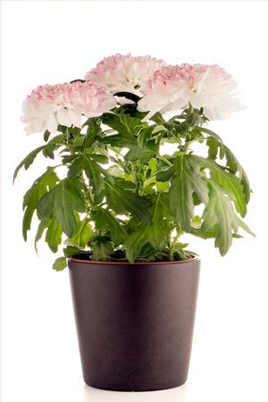 Beautiful Chrysanthemum flowers in a dark flowerpot on white background. photo