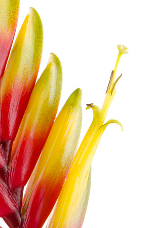 vriesea: Yellow and red bromelia Flower on white background.