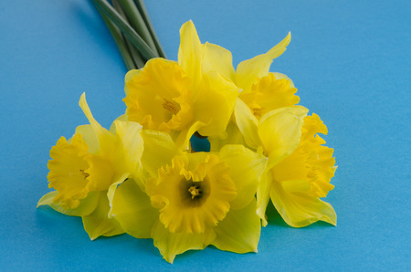 jonquil: Yellow jonquil flowers on blue background.