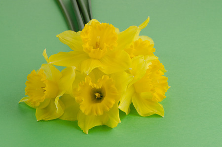 jonquil: Yellow jonquil flowers on green painted background.