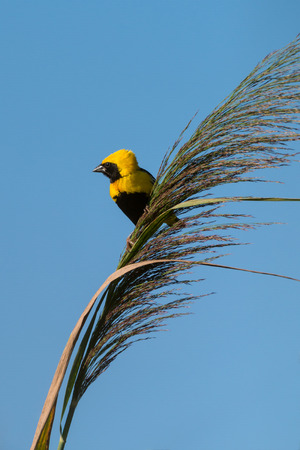wild grass: Golden Bishop bird on wild grass against clear blue sky.
