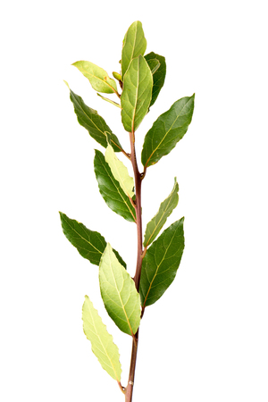 sell: Detail of laurel branch isolated on white background.