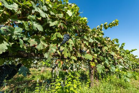 Vines in a vineyard in autumn - Wine grapes before harvest. Stock Photo