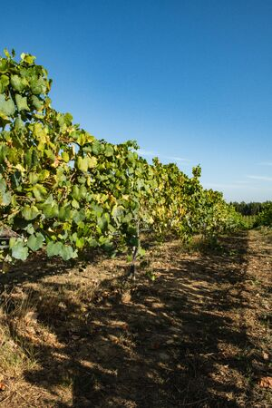 Vineyard at Moncao in the Minho region, Portugal. Stock Photo
