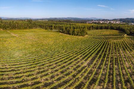 Weinberg bei Moncao in der Region Minho, Portugal.
