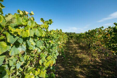 Vineyard at Moncao in the Minho region, Portugal.