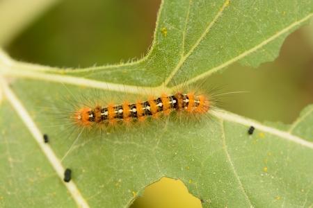 Caterpillar on Leaf photo