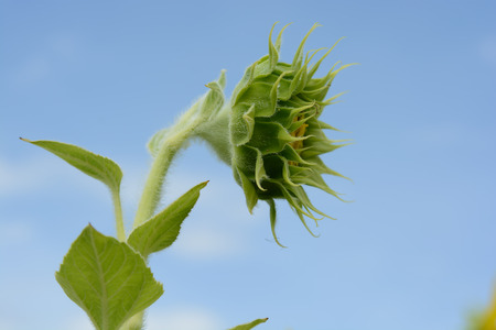 Sunflower in bud growing into the sky photo