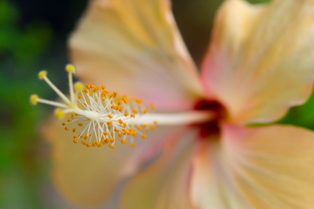 Yellow hibiscus isolated on black photo