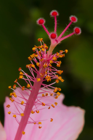 Pink hibiscus isolated photo