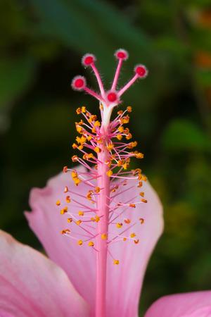 Pink hibiscus isolated photo