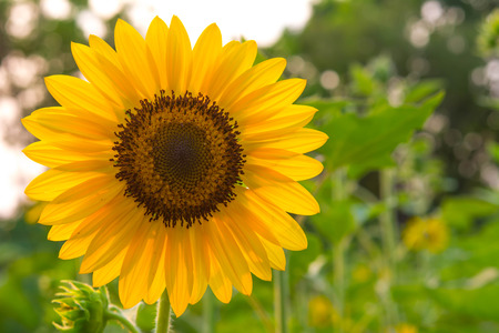 non cultivated: Sunflower
