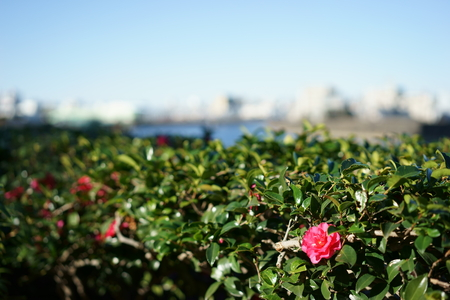 sumida ku: Sumida River along the camellia Stock Photo