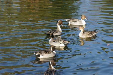 Spot-billed duck photo