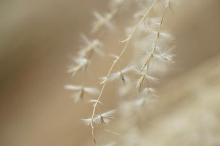 pampas: Fluff of pampas grass