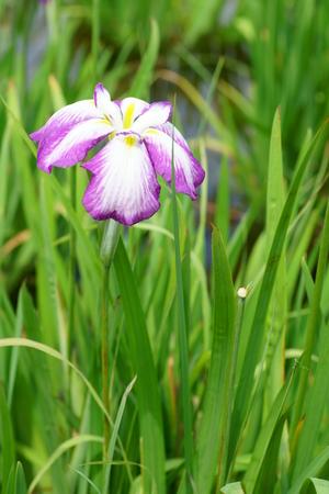 calamus: Iris