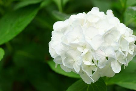 hydrangeaceae: Hydrangea