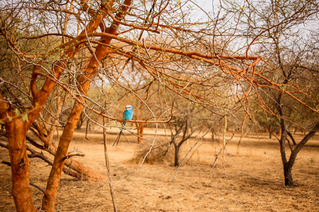 Beautiful blue bird sitting on a branch of tree. Wild life in Safari. Baobab and bush jungles in Senegal, Africa. Bandia Reserve. Hot, dry climate.