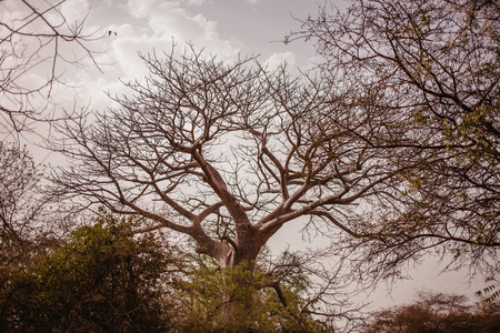 Top of tree on the sky on background. Wild life in Safari. Baobab and bush jungles in Senegal, Africa. Bandia Reserve. Hot, dry climate.