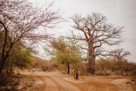 Sandy road in Safari. Baobab and bush jungles in Senegal, Africa. Wild life in Bandia Reserve. Hot, dry climate. 写真素材