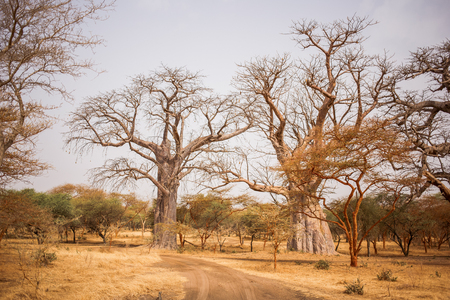 Two Big Baobabs on sandy land. Wild life in Safari. Baobab and bush jungles in Senegal, Africa. Bandia Reserve. Hot, dry climate.