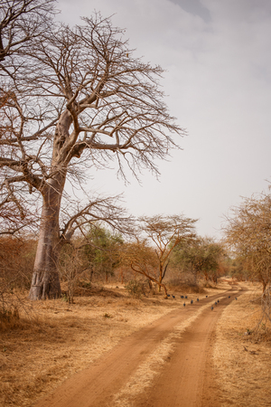 Birds running away on sandy road. Wild life in Safari. Baobab and bush jungles in Senegal, Africa. Bandia Reserve. Hot, dry climate. Vertical view. 写真素材