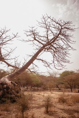 Wild life in Safari. Baobab and bush jungles in Senegal, Africa. Bandia Reserve. Hot, dry climate.