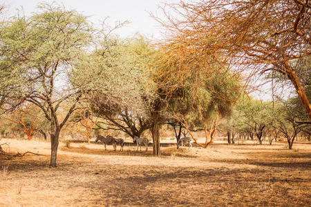 Zebras hiding under the trees. Wild life in Safari. Baobab and bush jungles in Senegal, Africa. Bandia Reserve. Hot, dry climate.