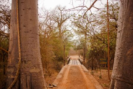 Hinged bridge between 2 trees. Wild life in Safari. Baobab and bush jungles in Senegal, Africa. Bandia Reserve. Hot, dry climate. 写真素材