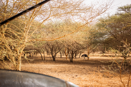 Ostrich walking between the trees on sandy road. Wild life in Safari. Baobab and bush jungles in Senegal, Africa. Bandia Reserve. Hot, dry climate. View from a car. 写真素材