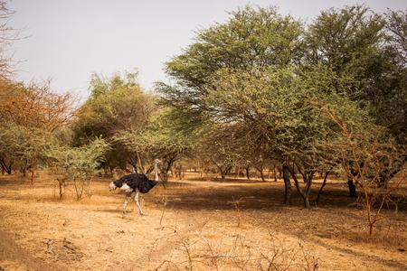 Struisvogel wandelen tussen de bomen op zandweg. Wild leven in Safari. Baobab en bush jungles in Senegal, Afrika. Bandia Reserve. Heet, droog klimaat.