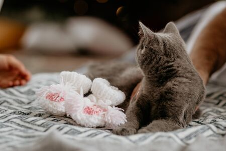 British cat lying near white baby socks on the bed. Grey british cat looking back on hand. Stock Photo