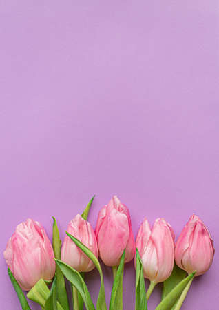 Tender pink tulips on bottom of pastel violet background. Greeting card for Women's day. Flat lay. Copy space. Concept of international women's day, mother's day, easter. Valentines love day