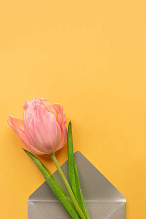 Tender pink tulip in elegant gray envelope on bottom of pastel yellow background. Greeting card for Women's day. Flat lay. Copy space. Place for text. Concept of international women's day, mother's day, easter. Valentines love day