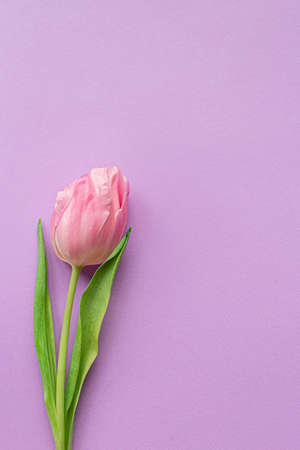 Tender pink tulip on pastel violet background. Greeting card for Women's day. Flat lay. Copy space. Place for text. Concept of international women's day, mother's day, easter. Valentines love day