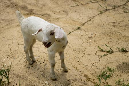 ヤギ droughty の地面の中で単独で。 写真素材 - 63256816