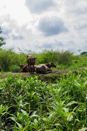 Thai water buffalos are getting rest on community route.