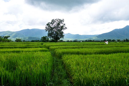The rice fields in the countryside of Chiang Mai province are standing for harvest.