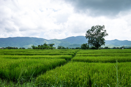 ChiangMai, Thailand. October, 17-2016: The rice fields in the countryside of Chiang Mai province are standing for harvest. Stock Photo