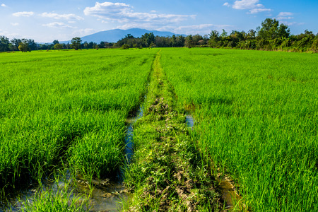ChiangMai, Thailand. January, 26-2017: The rice fields in the countryside of Chiang Mai province are standing for harvest.