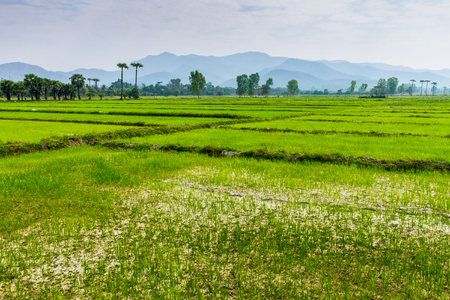 Lampoon, Thailand. February, 17-2017: The rice field in the countryside of Lampoon province was standing for harvest.