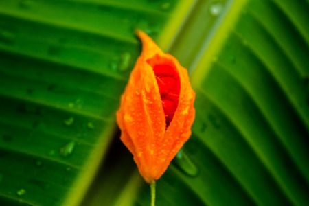 edible plant: The edible plant hanging on a banana leaf surrounded by drops of dew.
