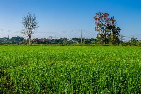 チェンマイ、タイ。2 月、05-2017: チェンマイ県の田舎で田んぼは収穫のために立っていた。